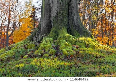 Tree root on dried field Stock photo © raywoo