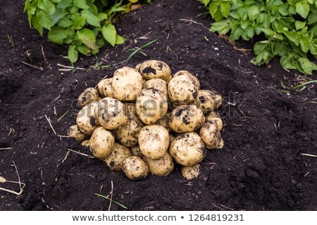 Dirty White Potatoes stock photo © keeweeboy