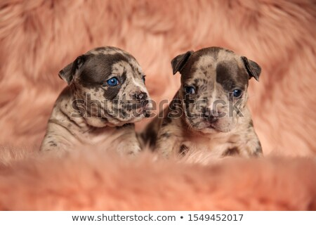 lovely american bully lying looks to side Stock photo © feedough