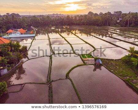 Stock photo: The rice fields are flooded with water. Flooded rice paddies. Agronomic methods of growing rice in t