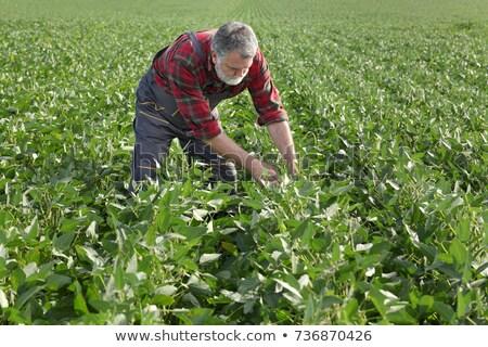 Farmer in soy field inspecting crop Stock photo © simazoran