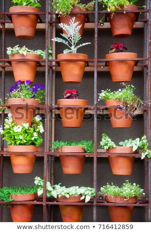 Ivy growing in a terracotta pot stock photo © duoduo