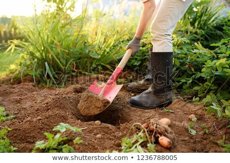 Woman digging potatoes in the garden Stock photo © photography33