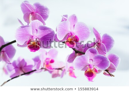 magenta orchid flower and snow Stock photo © prill