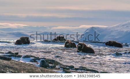 Musk-ox in Norge Stock photo © samsem
