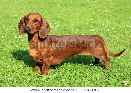 Standard smooth-haired dachshund Stock photo © CaptureLight
