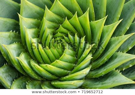 Kaktüs yeşil doku soyut manzara Stok fotoğraf © bbbar