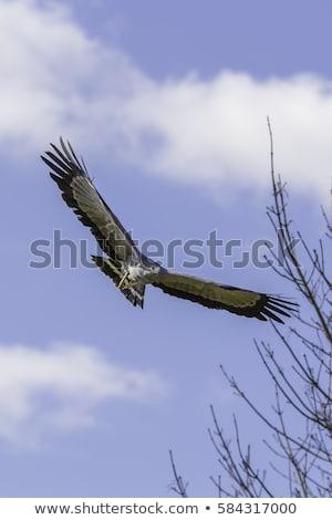 Africano falcão tiro natureza paisagem Foto stock © kitch
