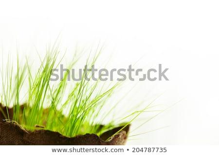 Fiatal fű fehér friss új élet öko Stock fotó © dariazu