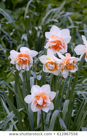 Daffodil is called Replete Stock photo © LianeM