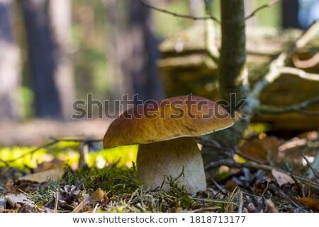 ストックフォト: ビッグ · ヤマドリタケ属の食菌 · 成長 · 晴れた · 日光