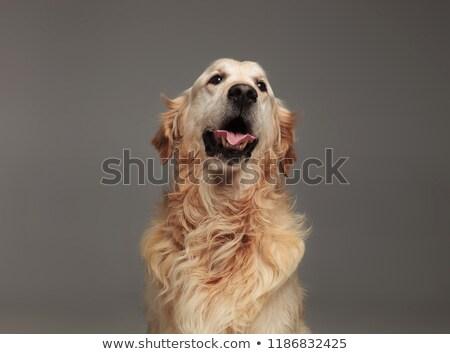Közelkép vicces labrador zihálás néz oldal Stock fotó © feedough