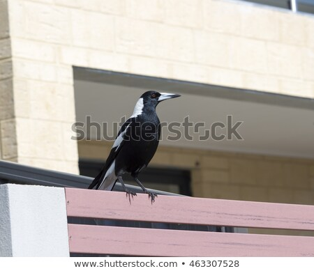 Australian magpie bird on the fence Stock photo © boggy