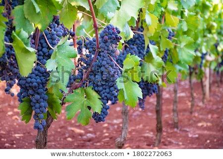 Verde pomelo vina mediterráneo uvas España Foto stock © lunamarina