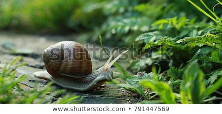 primer · plano · jardín · caracol · Shell · aislado · blanco - foto stock © jirkaejc