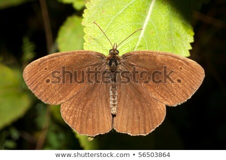 Common Ringlet Stock photo © ca2hill