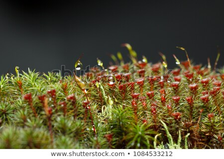 Waterdrops on Polytrichum Moss and Cladonia Lichen Stock photo © tainasohlman