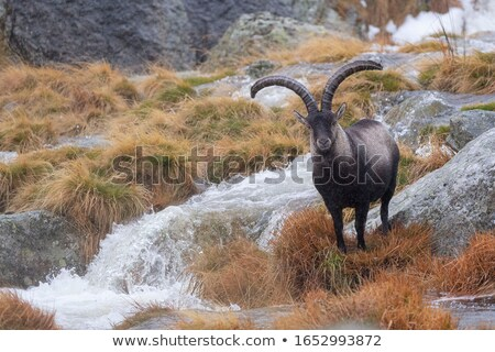 Spanish Ibex, Capra pyrenaica in the mountains Stock photo © dinozzaver