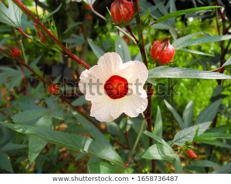 Ямайка · гибискуса · цветок · розовый · цветок · Blossom - Сток-фото © bdspn