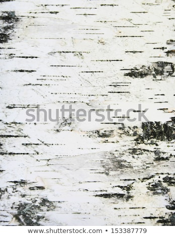 detail of birch tree bark stock photo © meinzahn