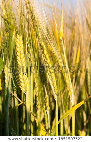 A wheat field almost ready for harvest  Stock photo © CaptureLight