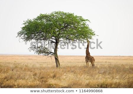 Zürafa yaprakları yaban hayatı hayvan portre Stok fotoğraf © OleksandrO