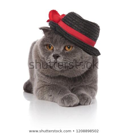 elegant scotish fold wearing black hat looks to side Stock photo © feedough