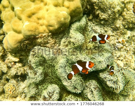 Three clownfish under the ocean Stock photo © colematt