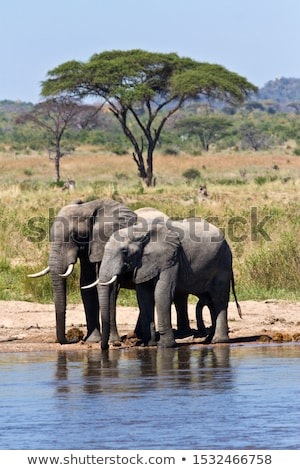 Pair of elephants in nature scene Stock photo © bluering