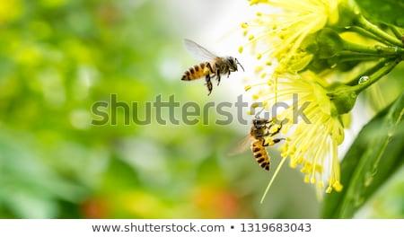 Abeja flores ilustración vuelo flor fondo Foto stock © colematt