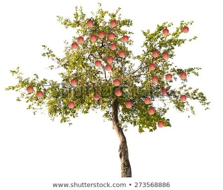 çiçekli elma ağacı beyaz bahar zaman Stok fotoğraf © manfredxy