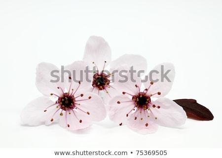 Cherry Plum Or Myrobalan Blossoms On White Stok fotoğraf © haraldmuc