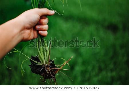 Mão capina erva daninha ferramenta luvas paisagem Foto stock © tab62