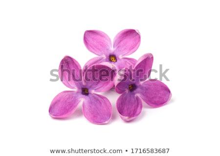 Orgona virágok brunch friss izolált fehér Stock fotó © neirfy