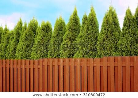 Thuja hedge at blue sky Stock photo © olandsfokus