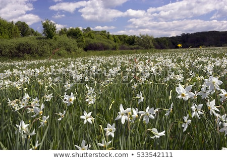 spring flowers daffodils in the setting sunlight stock photo © dariazu