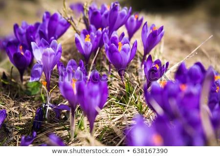Crocus viola fiori fioritura montagna valle Foto d'archivio © blasbike