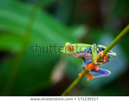 piros · szemek · levelibéka · éjszaka · esőerdő · Belize - stock fotó © clearviewstock