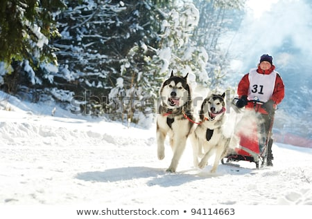 Dog Sled Team In Training Stock photo © searagen