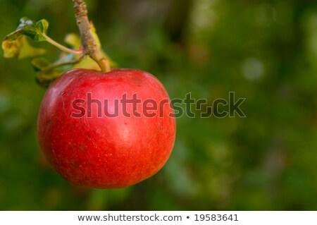 Olgun kırmızı elma asılı ağaç Stok fotoğraf © Klinker