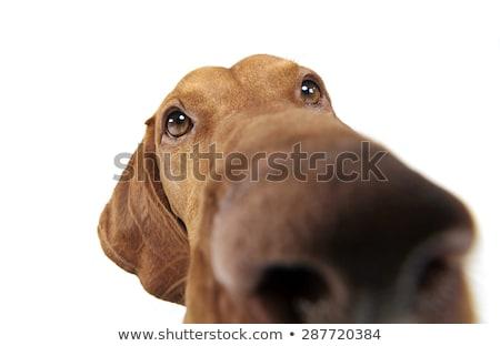 hond · winter · veld · natuur · schoonheid · portret - stockfoto © brianguest