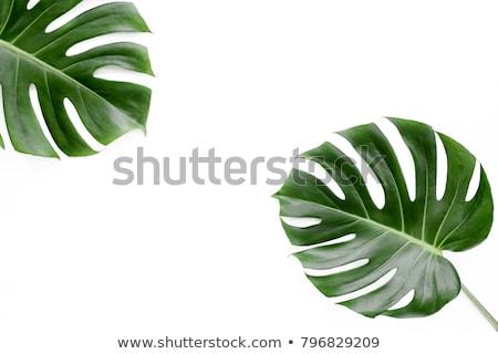 suluboya · tropikal · yaprakları · yalıtılmış · beyaz · palmiye · yaprağı - stok fotoğraf © alexmillos