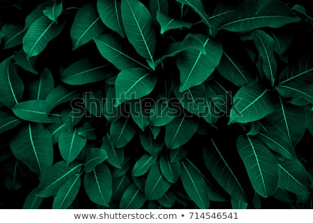 closeup of a green leaf with a natural pattern of veins on a black background with copy space top v stock photo © artjazz