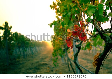 Wineyards In Early Summer Stock photo © franky242