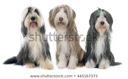 Foto stock: Três · barbudo · cães · branco