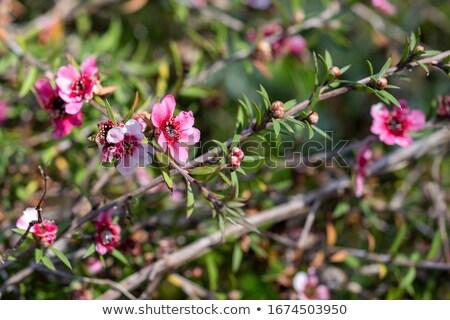 spring flower of leptospermum pink cascade Stock photo © sherjaca