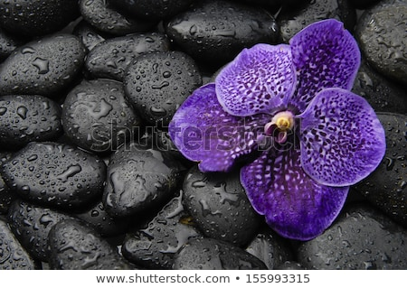 Beautiful purple orchid, rocks and water droplets. Stock photo © justinb