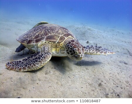 green turtle chelonia midas in the red sea stock photo © stephankerkhofs