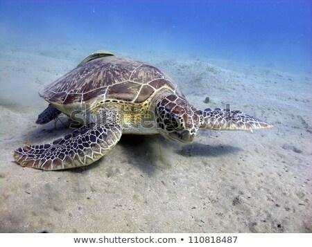 teknős · tenger · zöld · vízalatti · kilátás · Vörös-tenger - stock fotó © stephankerkhofs