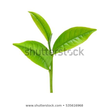 春 · 支店 · ツリー · 小さな · 緑の葉 · 孤立した - ストックフォト © ozaiachin